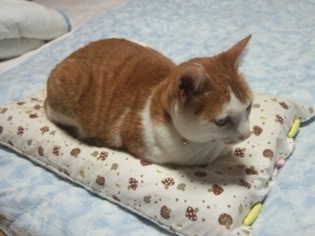 枕を占拠するにゃんこ